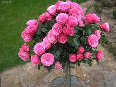 1000 images about roses on pinterest english roses. Black Bedroom Furniture Sets. Home Design Ideas