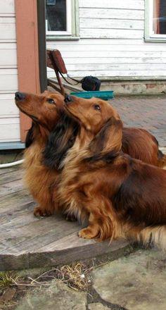 Dachshund Puppies Two fluffy wieners, gorgeous by cora Dachshund Breed, Dachshund Funny, Long Haired Dachshund, Dachshund Love, Daschund, Dachshund Clothes, Dapple Dachshund, Dachshund Gifts, Weenie Dogs