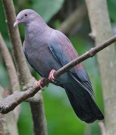 Peruvian Pigeon - Birding Buddies: The online community for bird watchers & enthusiasts