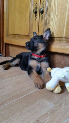 German Shepherd Pup ~ Classic Look Gsd Puppies, Pet Puppy, Cute Puppies, Cute Dogs, Dog Cat, Baby Animals, Cute Animals, German Shepherd Puppies, German Shepherds