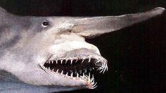 uem chamou essa criatura de tubarão-duende estava sendo gentil diante de tamanha estranheza. O peixe tem um focinho longo e liso saindo de sua cabeça, o que, como qualquer um pode imaginar, é um pouquinho estranho, esteticamente falando. Felizmente, o focinho diminui proporcionalmente conforme o tubarão envelhece, de forma bem semelhante ao que acontece com o ego embaraçosamente grande de um macho humano, que tende a diminuir à medida que ele fica mais velho.