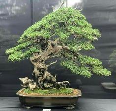 Bonsai Art, Bonsai Plants, Bonsai Garden, Plantas Bonsai, Bonsai Styles, Mini Plants, Tropical, Herbs, Leaves