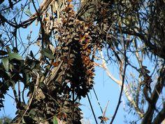 Monarch butterflies, Goleta, CA '07 by cieneguitan, via Flickr