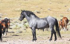 Blue Roan Mustang                                                       …