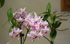 Phalaenopsis equestris keiki blossoming