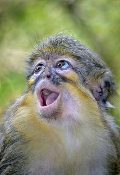 Call of the wild--Talapoin Monkey