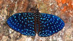 Velutina Cracker (Hamadryas velutina) - Photo by Rudimar Cipriani Beautiful Butterflies, Beautiful Flowers, Reptiles, Moth Species, Butterfly Species, Animals, Google Search, Design, Colors