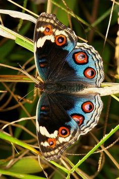 Blue Pansy butterfly or moth (Junonia orithya, Nymphalidae) Beautiful Bugs, Beautiful Butterflies, Paper Butterflies, Butterfly Kisses, Butterfly Wings, Butterfly Mobile, Monarch Butterfly, Beautiful Creatures, Animals Beautiful