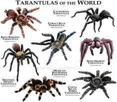 Tarantulas of the World by rogerdhall on DeviantArt