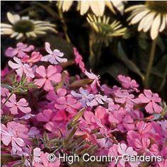 Saponaria lempergii  Giant Flowered Soapwort