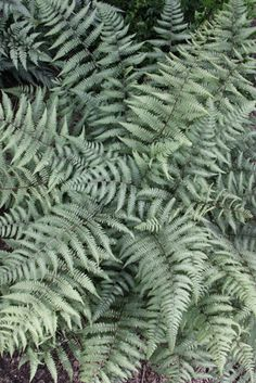 Athyrium Branford Beauty --- Like Ghost fern, this is a hybrid between Japanese painted fern & lady fern. This one is more silver, while Ghost is more of a light sage green. Grows about 3' x 3.5'. Vertical habit like Lady fern. Great for color & texture combos. z. 4-8
