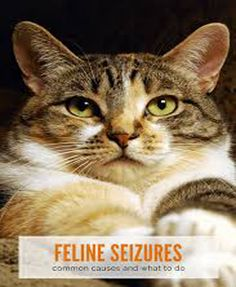 he reason for this anecdote is that epilepsy and seizures in cats are a perfect illustration of the uniqueness of our feline friends. For example, epilepsy is relatively common in dogs, Seizures, Cat Care Tips, Dog Care, Pet Tips, Care Care, Cat Symptoms, Cat Health Care, Health Tips, Gatos