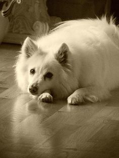 American Eskimo - like a wolf turned into a puffball and shrunken down. I just wanna snuggle!!!!