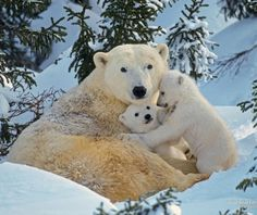 Polar bear - Bears Wallpaper ID 1739937 - Desktop Nexus Animals