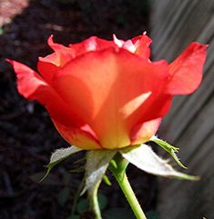 Single Orange Rose Picture