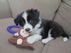 SUCH CUTENESS!  Border Collie puppy