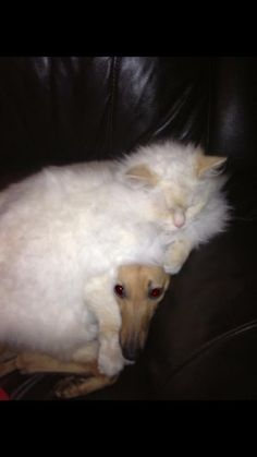 Whippet has his thinking cat on.....