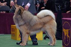 Tibetan Mastiff  Price Tag: $2,200 – $7,000
