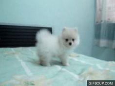 White Teacup Pomeranian Playing