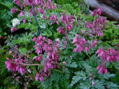 Dicentra eximia 'Luxuriant'  NOT deer resistant Can withstand full sun.