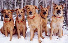 #Chinook #Puppy #Dog