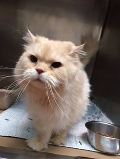 Stamford Animal Control Center orange fluffy · https://www.facebook.com/StamfordAnimalControl/photos/a.353847874784943.1073741828.351876908315373/597354483767613/?type=3&theater   FOUND CAT!!!!! PLEASE SHARE......  Found cat in Stamford, Ct on Woodway road . Neutered male, front declawed, est. 6-8 yrs old. Has chip is not registered...  Contact: Stamford Animal Control Center if this is your cat . 203-977-4437
