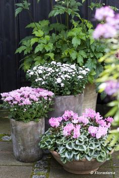 Gardening Autumn - fleurs dautomne chrysanthèmes asterns et cyclamens Plus - With the arrival of rains and falling temperatures autumn is a perfect opportunity to make new plantations Pink Garden, Love Garden, Easy Garden, Autumn Garden Pots, Container Flowers, Container Plants, Container Gardening, Beautiful Gardens, Beautiful Flowers