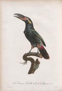 Histoire naturelle des oiseaux de paradis et de...