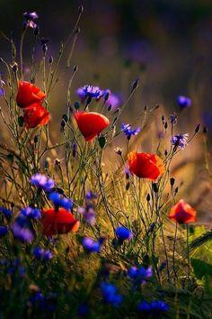 Elegant Flowers, Fall Flowers, Red Flowers, Psalm 139, Illuminati, Blossom Flower, Flower Art, Poppy Seed Chicken, Happy Evening