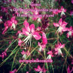 Photo From my garden #gaura Mart-Temmuz aylatı boyunca beyazdan koyu pembeye çeşitli tonlarıyla sıcak iklimli şehirlerin #bahçe lerini süsleyen güzel çiçekli bir çalıdır. Aynı zamanda #parfüm lerde esans olatak kullanılır ve #tütsü için #aromatik bir bileşendir. #fragrance #basenotes #esans #smudgestick #incense #pinkflowers #garden #spring #naturelovers #organic #diycosmetics #evyapimikozmetik
