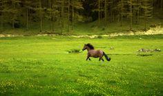 Der Brabanter gehört zur Kategorie der Kaltblüter und stammt aus Belgien...