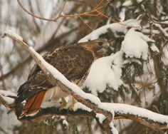 Composition - Life: Magnificent Predator Red Tail Hawk in the yard