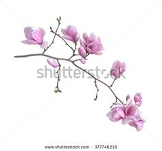 magnolia flower branch isolated on white background