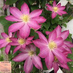Clematis in bloom in my Indiana garden.
