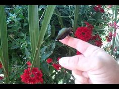 A wild hummingbird lands on finger to feed.