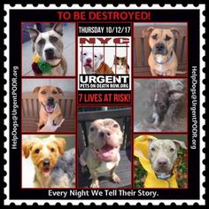 TO BE DESTROYED 10/12/17 - - Info   To rescue a Death Row Dog, Please read this:http://information.urgentpodr.org/adoption-info-and-list-of-rescues/  To view the full album, please click here:http://nycdogs.urgentpodr.org/tbd-dogs-page/ -  Click for info & Current Status: http://nycdogs.urgentpodr.org/to-be-destroyed-4915/