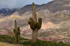Cordon cacti, Puna de Atacama, Argentina