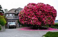 Por último, mas não menos importante, uma das árvores mais surpreendentes nesta lista é esta Rododendro com 125 anos de idade. Embora tecnicamente seja arbusto e não uma árvore, ela recebe um passe livre para a lista só por pura beleza.