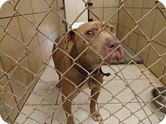 Thomaston, GA - American Pit Bull Terrier Mix. Meet Nesquick, a dog for adoption. http://www.adoptapet.com/pet/11359785-thomaston-georgia-american-pit-bull-terrier-mix - this shelter does not allow much time for any pet - bully breeds typically get even less