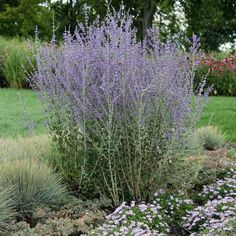 Feathered perovskia: Asian blue flowers - Blue lozenge in the herbaceous border - Garden Planters, Herb Garden, Vegetable Garden, Garden Art, Garden Cottage, Herbaceous Border, Herbaceous Perennials, Hardy Perennials, Hydrangea Care