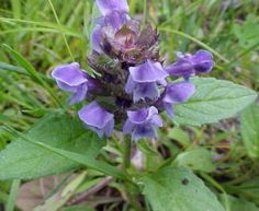 """""""Self-Heal"""" Prunella vulgaris: young leaves & stems can be eaten raw in salads; whole plant can be boiled & eaten as a potherb; aerial parts can be powdered & brewed in a cold infusion for a tasty beverage. contains vitamins A, C & K, flavonoids, rutin. whole plant is poulticed onto wounds to promote healing. mouthwash made from an infusion of the whole plant treats sore throats, thrush & gum infections. tea - treat diarrhea & internal bleeding (pregnant & breast-feeding women consult a…"""