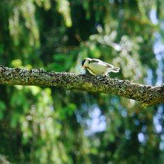 Nuori linnunpoikanen opettelee etsimään itse ruokaansa.
