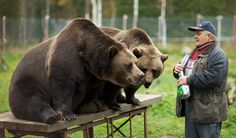 The Bearman Sulo Karjalainen. At the Predator Center in Kuusamo, one can get acquainted with some of the large predators that are found in Finland. Meanwhile In Finland, Forest People, Lappland, Nordic Design, Brown Bear, Cool Places To Visit, Pet Birds, Animal Kingdom, Animals And Pets