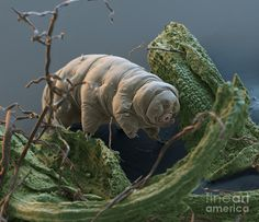 Paramacrobiotus Tonolli Photograph - Water Bear by Eye of Science and Science Source