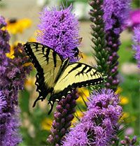 Attracting Butterflies, Hummingbirds and Other Pollinators - Liatris is one of the many perennials that attracts butterflies. For more butterfly-attracting perennials, see the chart at the end of this article.
