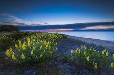 lake taupo, new zealand, озеро Таупо, Новая Зеландия, цветы, люпин, пейзаж, озеро