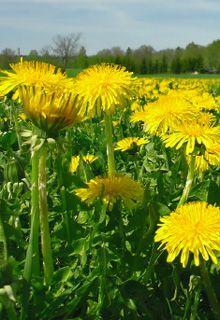 Herbs - Dandelion - Dr. Weil's Herbal Remedies