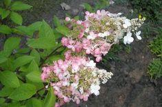 Hibiskus w ogrodzie przycinanie, rozmnażanie i zimowanie Plants, Hibiscus, Plant, Planets