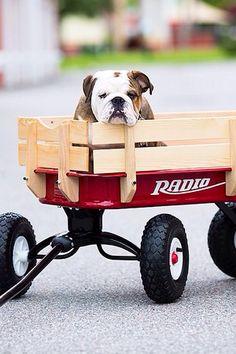 aww that bulldog is so cute. Thats what I want my bulldog to look like Bulldog Pics, Bulldog Puppies, Cute Puppies, Dogs And Puppies, Cute Dogs, Terrier Puppies, Doggies, Boston Terrier, Cute Bulldogs