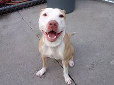 TO BE DESTROYED - 11/10/14 Brooklyn Center - P  My name is LOVE. My Animal ID # is A1018704. I am a male white and tan pit bull mix. The shelter thinks I am about 2 YEARS old.  ***$150 DONATION to NEW HOPE RESCUE that pulls!!***  I came in the shelter as a STRAY on 10/25/2014 from NY 11372, owner surrender reason stated was STRAY.